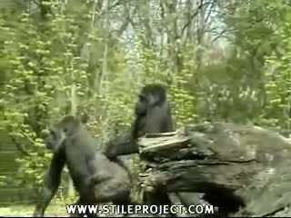 Porno goryl